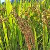 種苗法改定 どさくさに紛れて審議入りか 日本の種子を守る会が反対声明