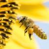 ミツバチ大量死の原因・ネオニコ系農薬を制限へ 欧米では既に使用禁止