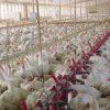 鳥インフルエンザの世界的蔓延 国内で過去最多の338万羽殺処分 背景に欧米企業による養鶏市場独占構造